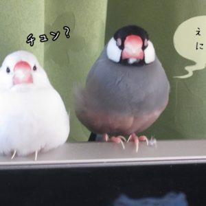 文鳥の臭いの原因と消し方