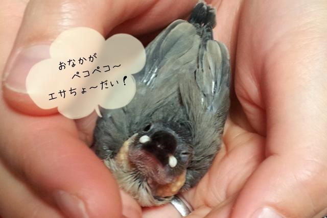 文鳥のヒナを育てる、さし餌とは