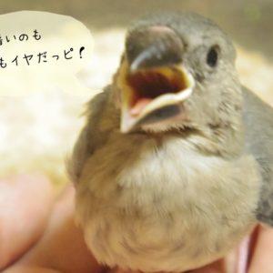 文鳥のヒナの温度管理