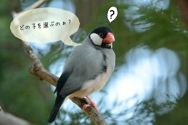 元気な文鳥を選ぶその見分け方法とは