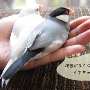 文鳥は1羽で飼うかペアで飼うか