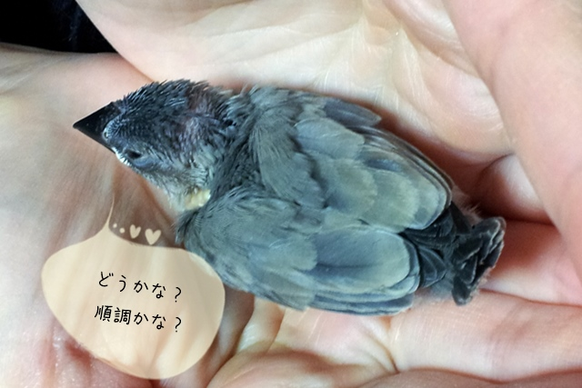 文鳥のヒナの週齢とは