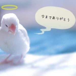 文鳥との別れ・見送り方を考える