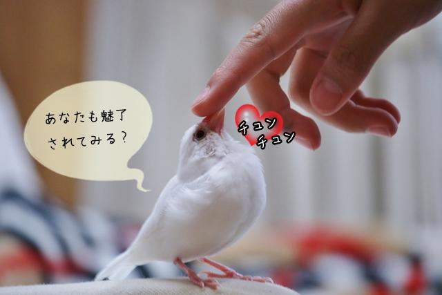 文鳥の魅力とは