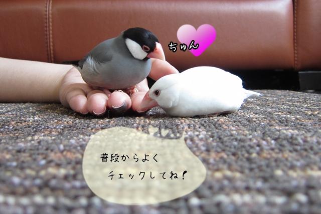 文鳥の体の特徴を知ろう