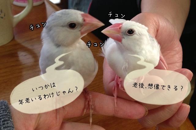 文鳥の老化について