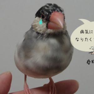 文鳥の目と鼻の病気