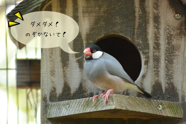 文鳥の産卵からふ化、ヒナの成長