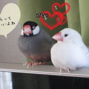 文鳥の繁殖について