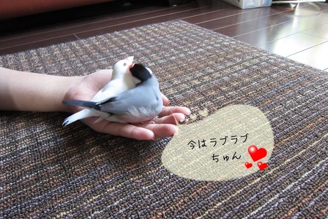 文鳥のペアのケンカ